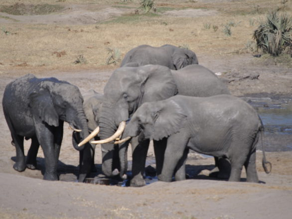 Tembe elephant park visit can be arranged from kosi bay