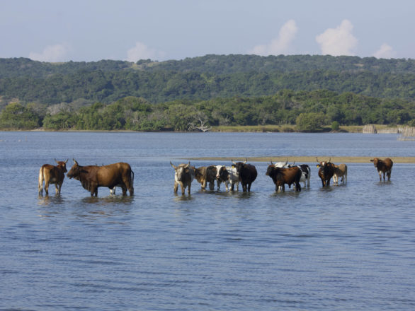 Kosi Bay Cattle