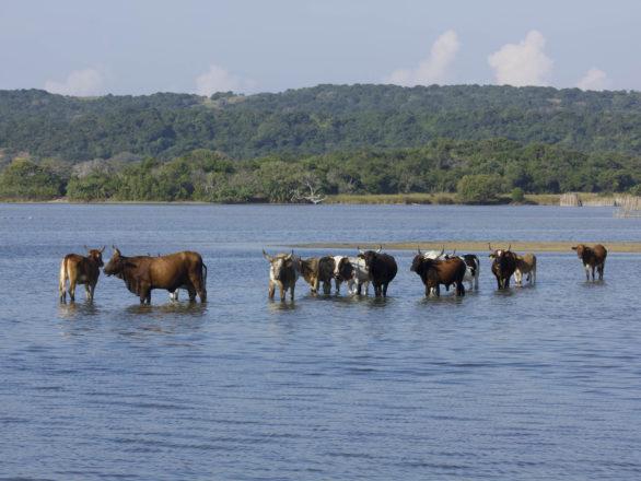 Kosi Bay Cattle